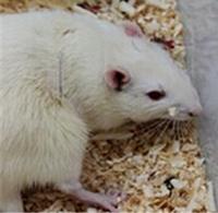 动物实验.png静脉插管大鼠