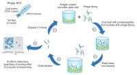 噬菌体平台服务定制 噬菌体展示