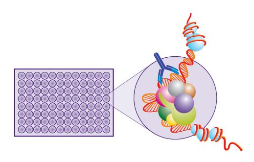 RORγ-核受体筛选