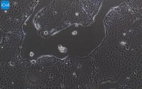 Capan-2人胰腺癌细胞/STR鉴定/赛百慷(iCell)