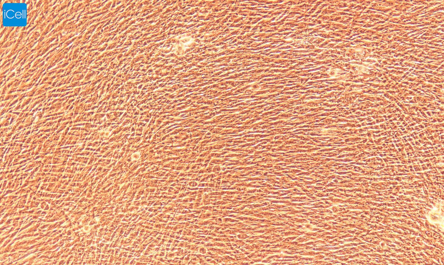 大鼠肾系膜细胞