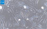 H9C2大鼠心肌细胞/赛百慷(iCell)