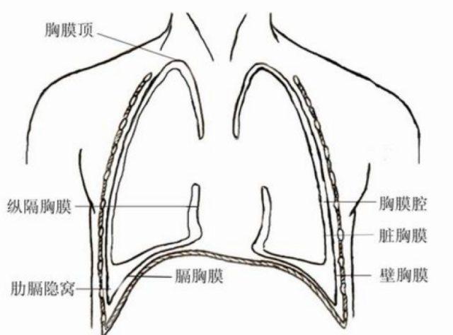 胸膜.png