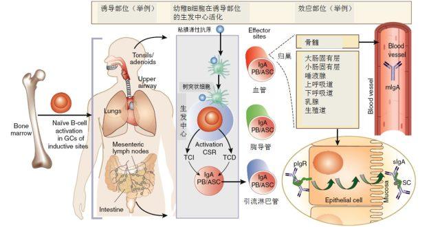 lga肾病正常寿数多久 继发性 IgA 肾病的研究进展
