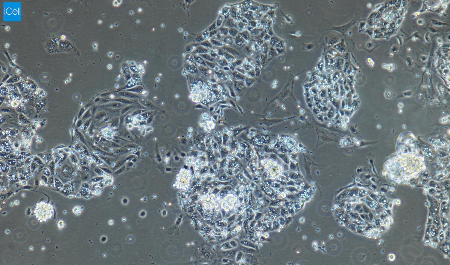 小鼠小肠隐窝上皮细胞/免疫荧光鉴定/赛百慷(iCell)