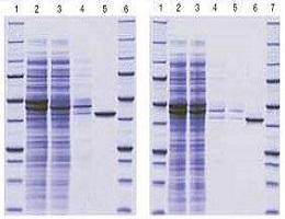 重组蛋白表达纯化(原核,酵母)