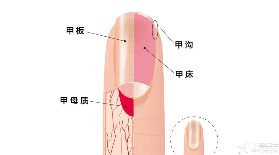 指甲结构1.jpg