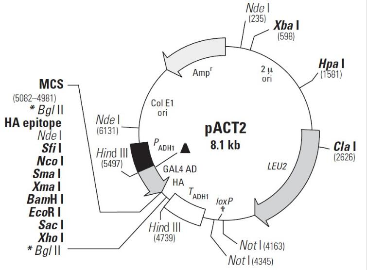 pACT2-AD