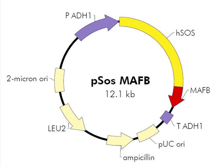 pSos-MAFB