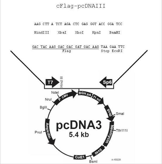 c-Flag pcDNA3