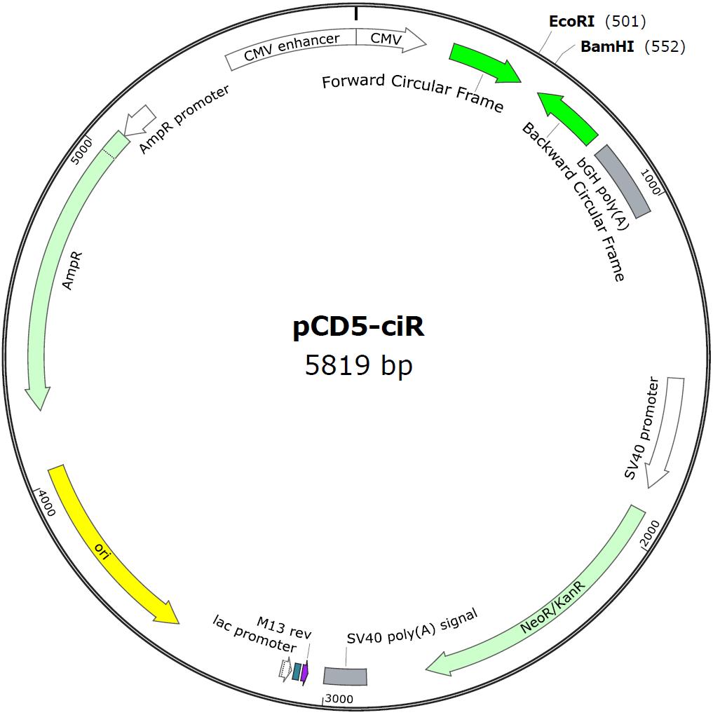 circRNA过表达载体系列