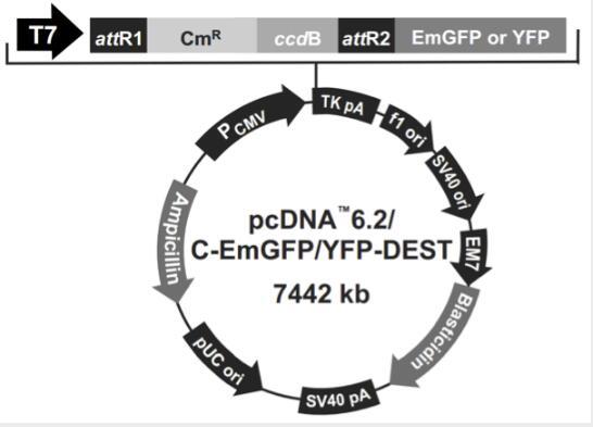 pcDNA6.2/C-YFP-DEST