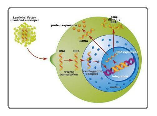 Easy-vshRNA慢病毒产品