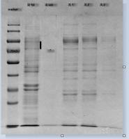 蛋白表达与纯化服务