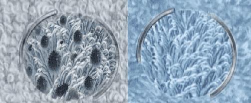 类芽胞杆菌属