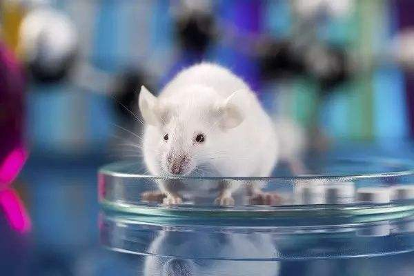 基因敲除大鼠
