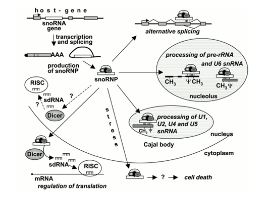 snoRNA测序
