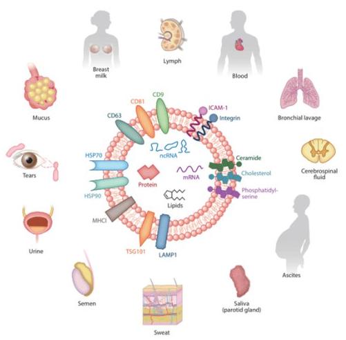 外泌体提取(细胞培养上清或尿液)