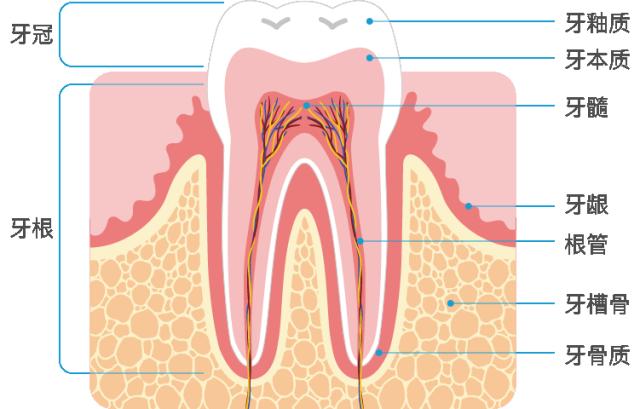 牙齿结构图.png