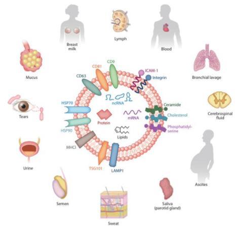外泌体提取和 DNA 分离(细胞培养上清或尿液)