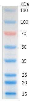 彩色预染蛋白Marker(15-130 kDa)