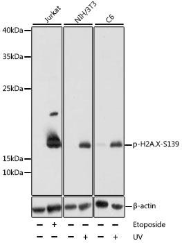 Anti-Phospho-H2AFX-S139 pAb
