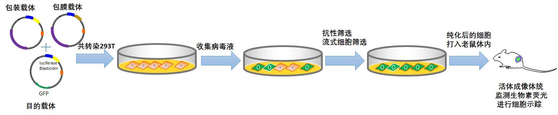 TS-005 三标慢病毒包装及稳定细胞系构建服务
