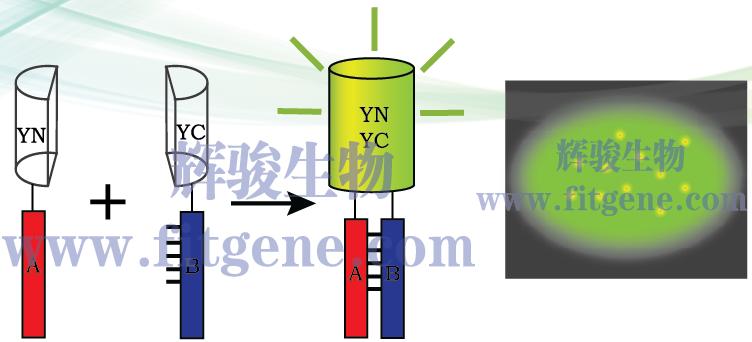 双分子荧光互补实验,BIFC,bifc,荧光蛋白