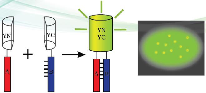 雙分子熒光互補實驗(BiFC)