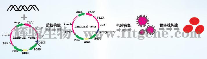辉骏生物载体构建,慢病毒表达载体,腺病毒表达载体,荧光素酶载体,环状RNA载体,原核表达载体