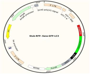 88必发_LC3自噬双荧光慢病毒产品