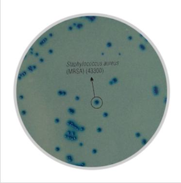 耐甲氧西林金葡菌显色培养基