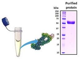 HIV-1 gp41 Long Recombinant, Biotin Labeled
