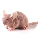 裸鼠成瘤模型