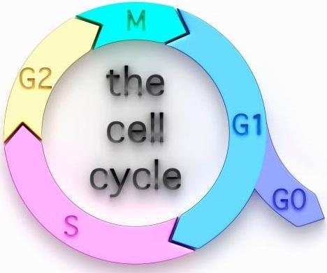 细胞周期检测