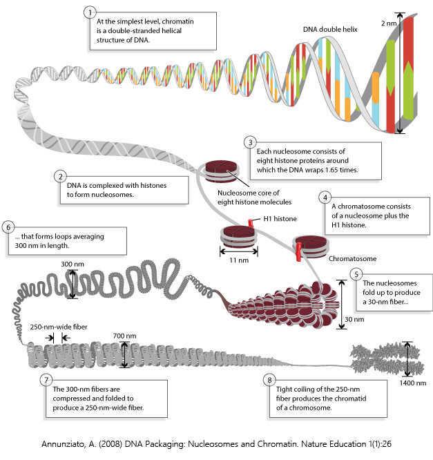 ATAC测序------染色质开放性测序技术