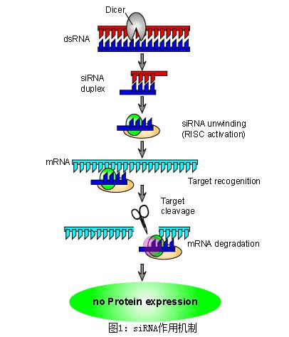 siRNA载体构建实验服务