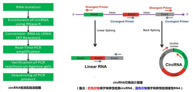 circRNA实时荧光定量PCR检测