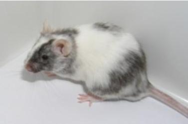 条件性基因敲除小鼠