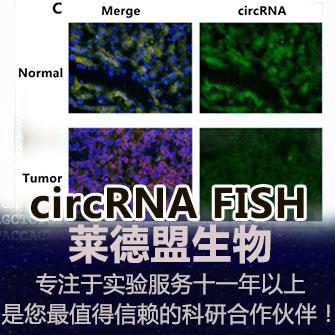 circRNA FISH检测(环状RNA)
