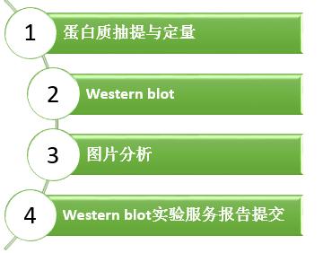 辉骏生物WB实验流程