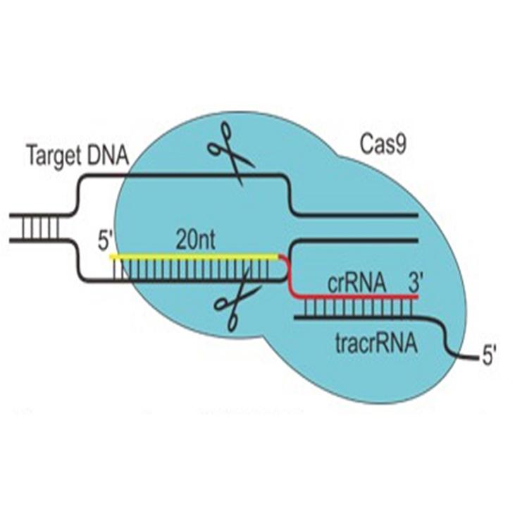 基因编辑-基因敲入