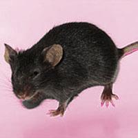 基因敲除小鼠 服務(ES打靶)
