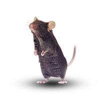 条件性基因敲除(组织特异性基因敲除)小鼠服务(ES打靶)