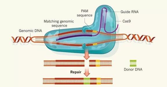 sgRNA设计及活性鉴定