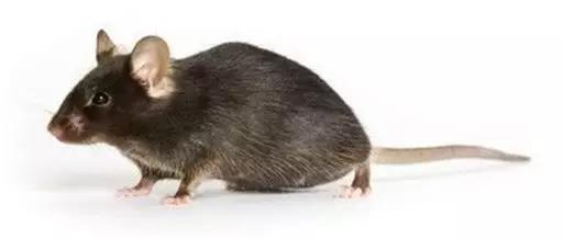 肝纤维化小鼠模型
