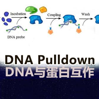 DNA Pulldown实验服务(DNA与蛋白相互作用)