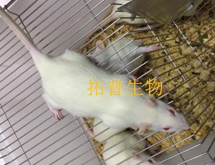 肝硬化大鼠模型