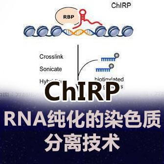 ChIRP实验服务(RNA纯化的染色质分离)
