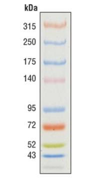 43-315 kDa蛋白Marker ,Color-coded Prestained Protein Marker, High Range (43-315 kDa) #12949
